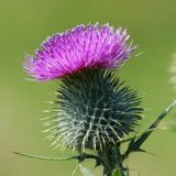 Flower - Spear or Bull Thistle (Cirsium vulgare) Left Leaning with green background