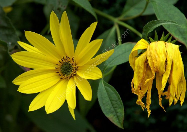 Flower - Sunflower (Helianthus annuus) - That's Life