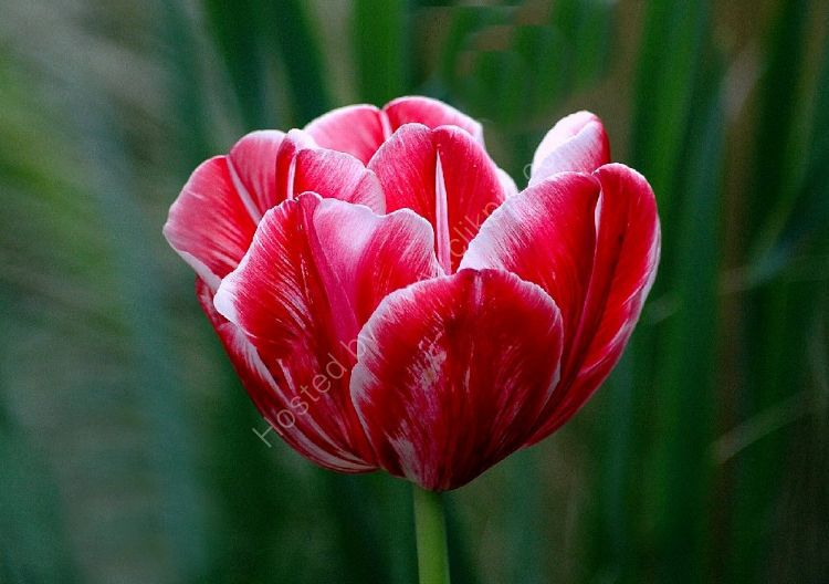 Flower - Tulip (Tulipa) - The Badshot Tulip