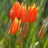 Flower - Tulip (Tulipa) - Tulip Forest