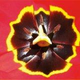 Flower - Tulip (Tulipa) - Tulip Stamen