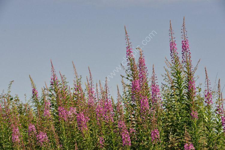 Flower - Wandering Willies (Blue Sky)