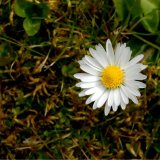 Flower - White Flower, Yellow Centre