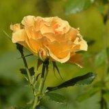 Flower - Yellow Rose