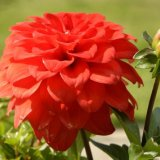 Flower - Zonal Geranium and Bud (Red)