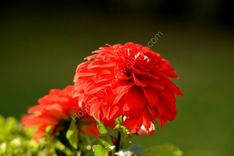 Flower - Zonal Geraniums (Red) with dark background at the top