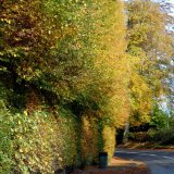 Hedge - Meikleour Hedge in Autumn - the world's tallest hedge