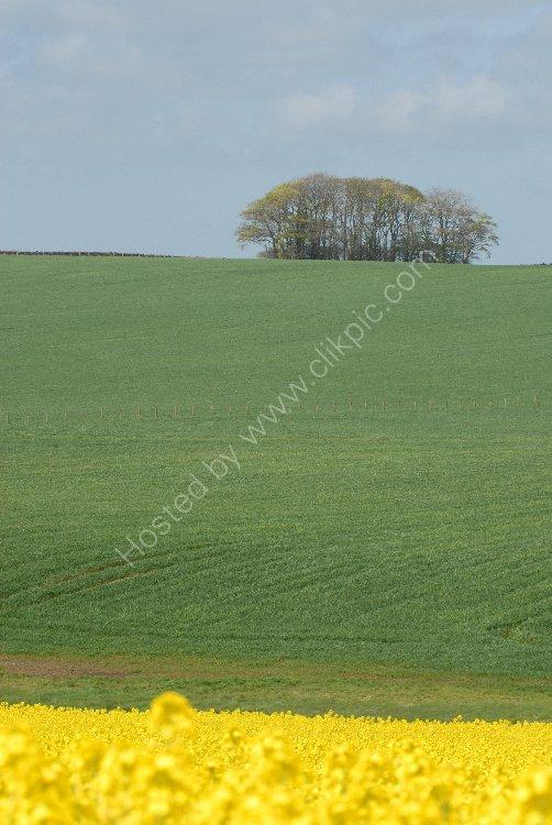 SCOTLAND - Clump of Trees