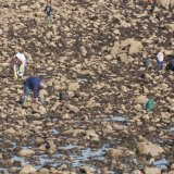 SCOTLAND - Using Muscles to collect Mussels