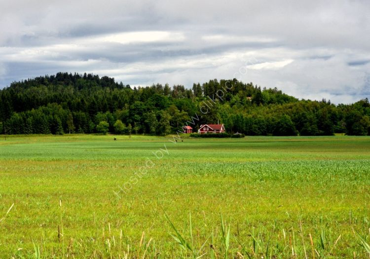 SWEDEN - Moose Loose aboot the hoose (Elk in the fields near Lilla Edet)