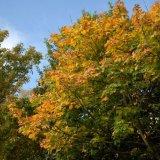Tree - Autumn Leaves