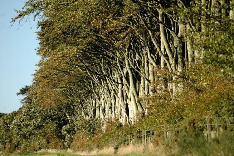 Tree - Beech Trees in a row
