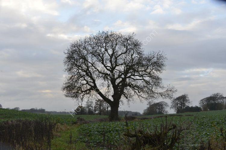 Tree - Faucheldean Tree in early winter