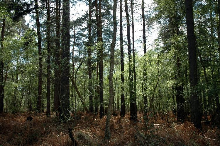 Tree - Forest Growth
