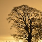 Tree - Golden Tree