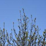 Tree - Rowan Tree Buds