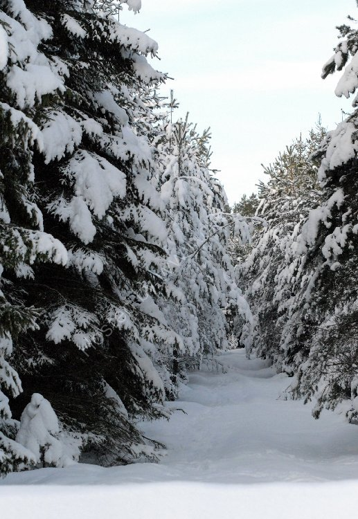 Winter - Fir Trees in the Snow