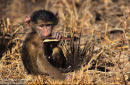 Baby Baboon with Seed Pod