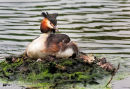 Nesting Great Crested Grebe With Chick