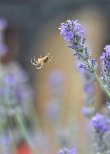 Lavender Spider
