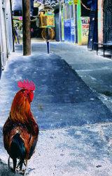 Market Rooster