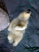 Polar Bear Backstroke