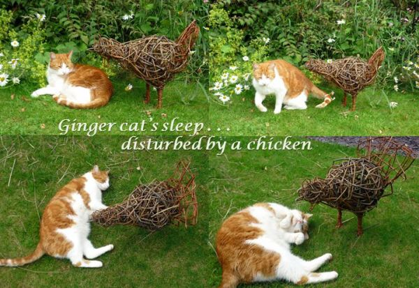 Ginger cat tormented by chicken