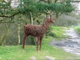 Red deer stag - Alderley Edge