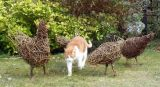 Willow chickens and 'Ginger Cat' aka Indie