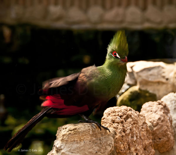 Green-Crested Touraco