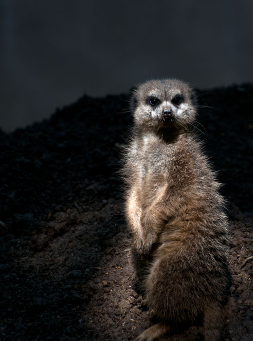 Moonlighting meerkat