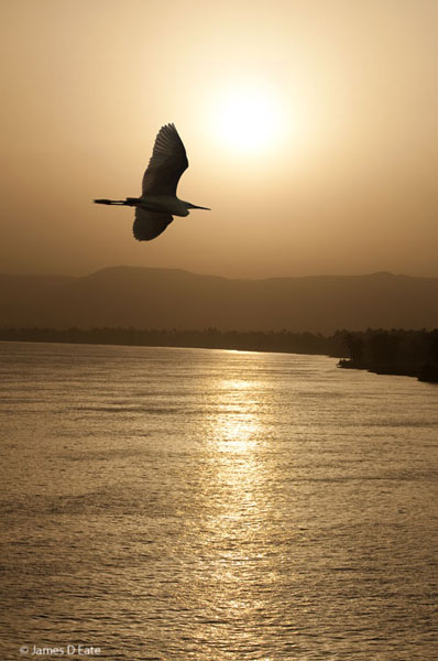 Egret over the Nile