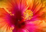 Hibiscus Heart