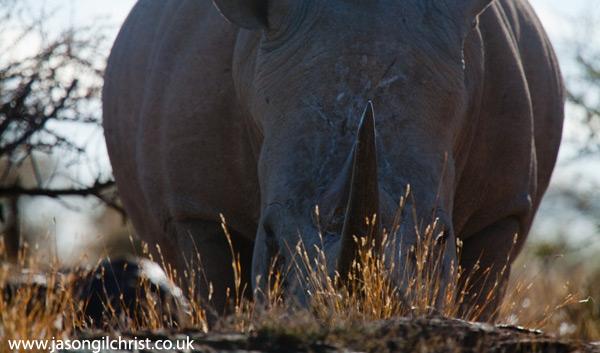 The behemoth rhino