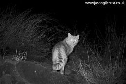 African Wildcat, Felis silvestris cafra, at night, camera trap