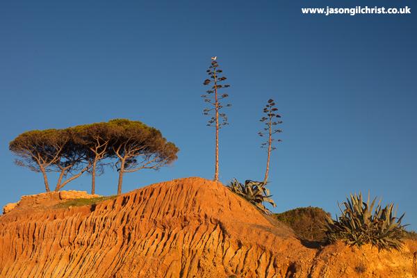 Clifftop pines and aloe, Praia Santa Eulália