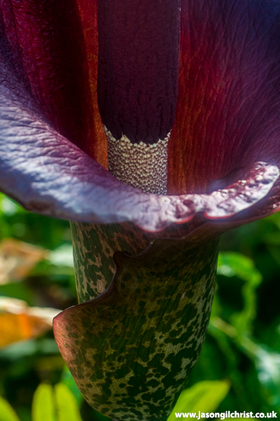 Into the flower - Wee Reekie (Amorphophallus konjac) at Royal Botanic Garden Edinburgh