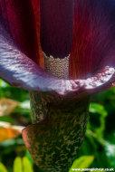 Into the flower - Wee Reekie (Amorphophallus konjac) at Royal Botanic Garden Edinburgh