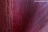 Amorphophallus konjac detail - Royal Botanic Garden Edinburgh