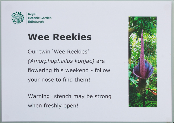 Beware the reek (smell) - Amorphophallus konjac (Wee Reekie) at Royal Botanic Garden Edinburgh