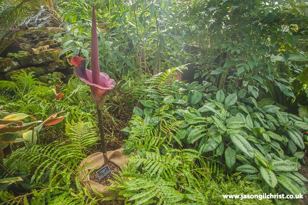 Wee Reekie, Amorphophallus konjac, Royal Botanic Garden Edinburgh
