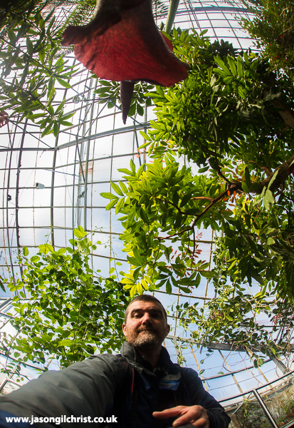 Amorphophallus konjac (Wee Reekie) - selfie