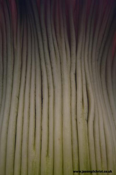 Amorphophallus titanum spathe detail (mid)
