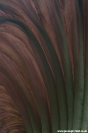 Amorphophallus titanum spathe detail (crest)