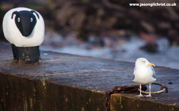 Herring gull, Larus argentatus with black-faced sheep bollard