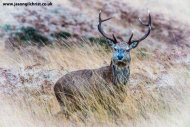 Red Deer stag, Glen Rosa