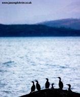 Shags and cormorant on watch, Isle of Arran