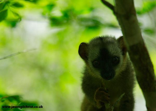 Curiosity: baby lemur