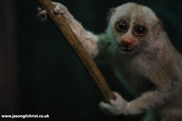 Bengal slow loris - Monkey Business