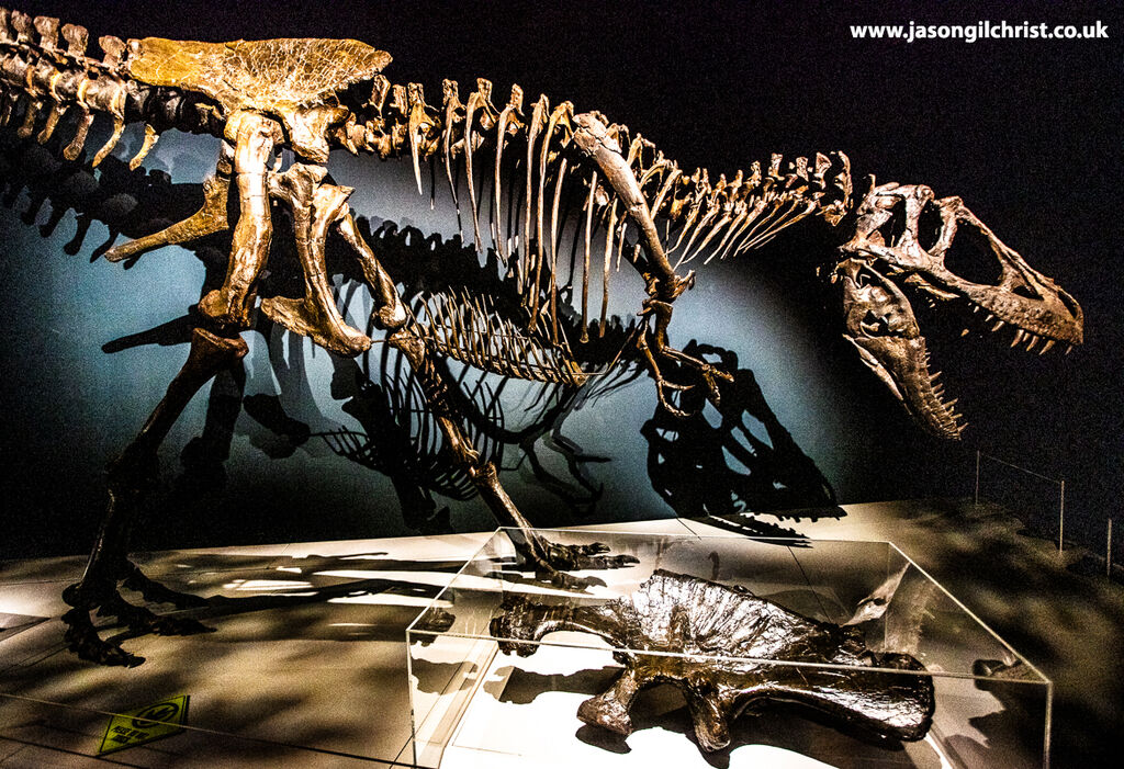 Daspletosaurus torosus, Tyrannosaurs exhibition - National Museum of Scotland - Edinburgh